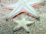 Astropecten jonstoni (juvenile)