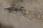 Helcomyza ustulata