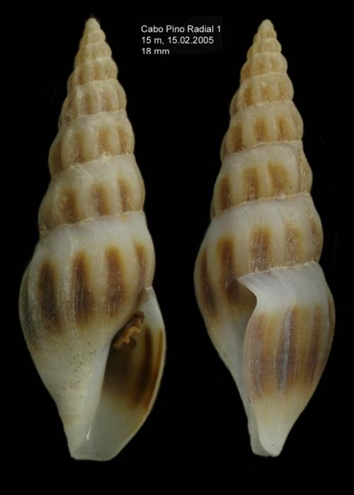 Bela powisiana (Dautzenberg, 1887)specimen from off Cabo Pino (15 m), Málaga, S. Spain (actual size 18.0 mm)