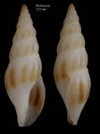 <i>Bela powisiana</i> (Dautzenberg, 1887)</b>shell from Bay of Bertheaume near Brest, Brittany, France (actual size 12.8 mm)