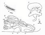 Cicerina elegans