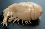ovigerous female, 6.5 cm, the Terpeniya Bay, south-eastern Sakhalin, Okhotsk Sea, trawl net, 20/07 - 09/08/2011, 14-490 m