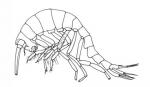Mimoscina galbraithae
