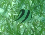 Chaetodon striatus