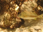 Haemulon plumierii