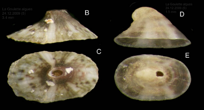 Fissurella nubecula (Linné, 1758). Juvenile specimens from La Goulette, Tunisia (among algae, 24.12.2009), actual size 3.4 mm (B,C) and 1.5 mm (D,E)