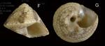 <i>Gibbula leucophaea</i> (Philippi, 1836)</b> Specimen from La Goulette, Tunisia (soft bottoms with <i>Cymoocea</i>, 3-4 m, 30.03.2009), actual size 4 mm