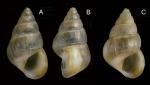 Pusillina inconspicua (Alder, 1844). Specimens from La Goulette, Tunisia (soft bottoms 10-15 m, 31.03.2010), actual size 2.0 and 2.3 mm