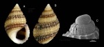 Alvania mamillata Risso, 1826Specimen from La Goulette, Tunisia (among algae, 22.06.2008), actual size 4.9 mm, and SEM image of protoconch, same locality, scale bar 100 µm,