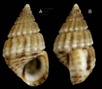 Alvania montagui (Payraudeau, 1826)Specimen from La Goulette, Tunisia (among algae, 22.06.2008), actual size 5,3 mm
