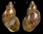 Tricolia speciosa (von Muhlfeldt, 1824)Specimen from La Goulette, Tunisia (among seagrass Cymodocea nodosa), actual size 7.2 mm.