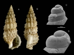 Cerithium scabridum Philippi, 1848Specimen from La Goulette, Tunisia (among  Cymodocea nodosa, 19.09.2008), and SEM of protoconch of a juvenile (same locality, 23.07.2009, scale bar 100 µm),