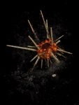slate pencil sea urchin