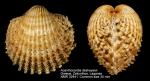 Acanthocardia deshayesii