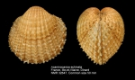 Acanthocardia echinata