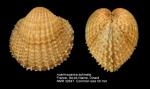 Acanthocardia echinata