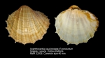 Acanthocardia paucicostata
