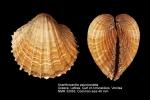 Acanthocardia paucicostata