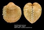 Acanthocardia spinosa