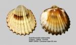 Acanthocardia tuberculata