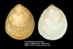Acrosterigma maculosum