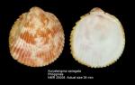 Acrosterigma variegatum