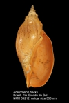 Adelomelon beckii