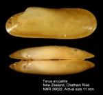Adipicola arcuatilis