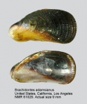 Brachidontes adamsianus