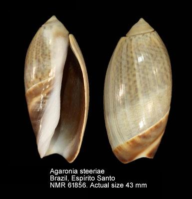 Agaronia steeriae