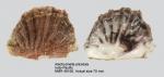 Alectryonella plicatula