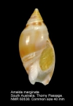 Amalda marginata