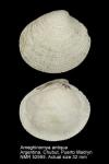 Leukoma antiqua