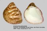 Americardia planicostata