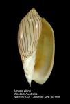 Amoria ellioti