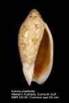 Amoria praetexta