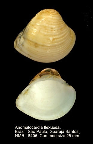Anomalocardia flexuosa