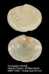Arcopagia richardi
