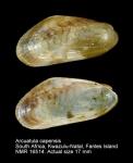Arcuatula capensis