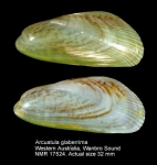 Arcuatula glaberrima
