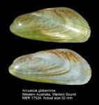 Arcuatula glaberrima