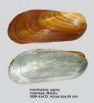 Arenifodiens vagina