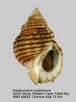 Argobuccinum pustulosum