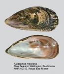 Aulacomya maoriana