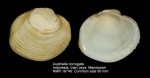 Austriella corrugata