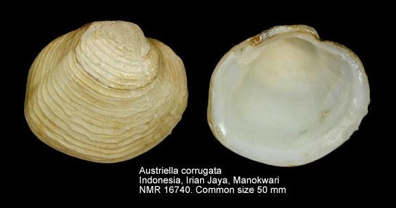 Austriella corrugata