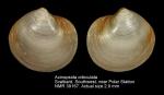 Axinopsida orbiculata