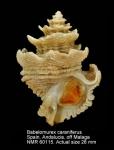 Babelomurex cariniferus