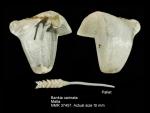 Teredinidae