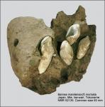 Barnea manilensis